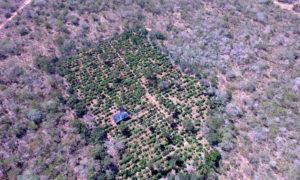 plantacao maconha norte bahia