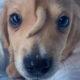 cachorro nasce com rabo na testa narwhal